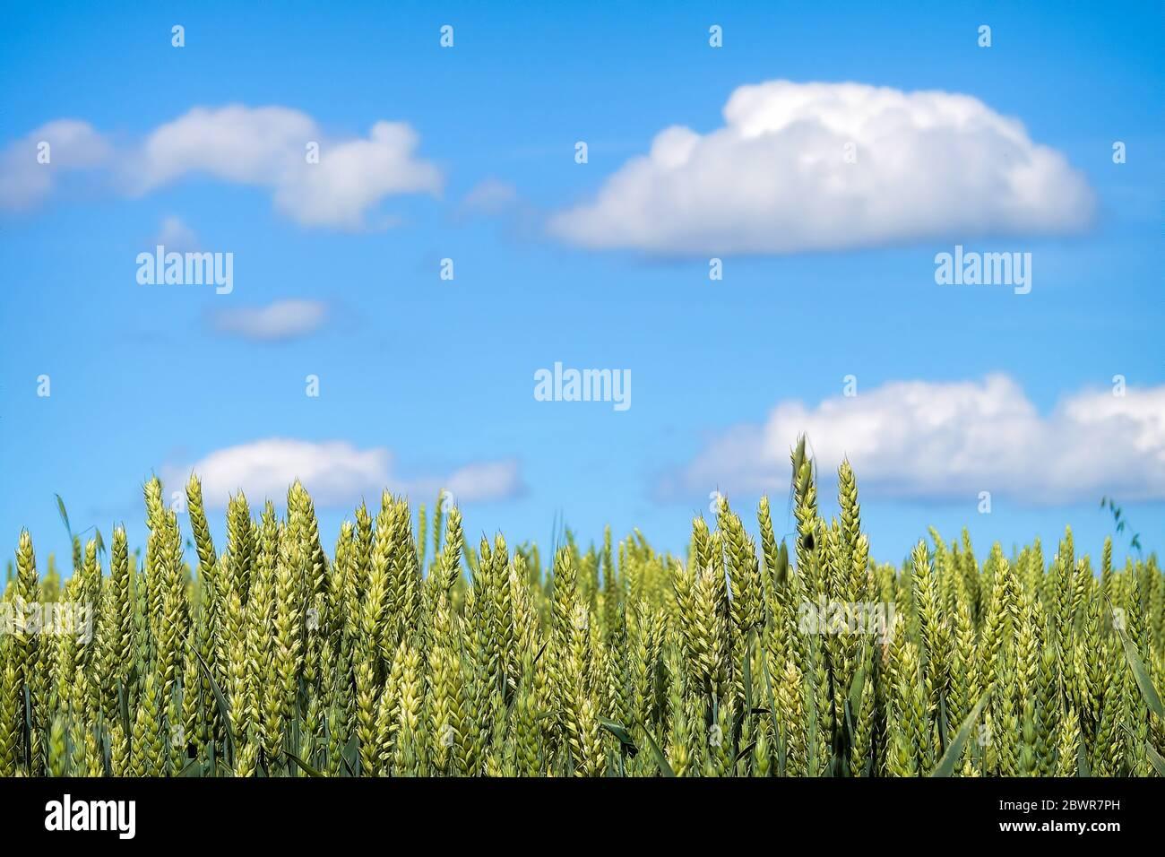 Un campo de grano madurando para la cosecha bajo el cielo azul. Foto de stock
