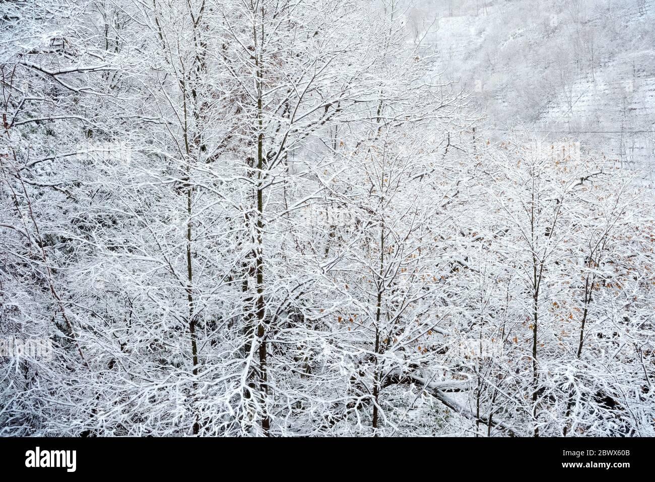 Bosque de invierno con fondo de nieve. Foto de stock