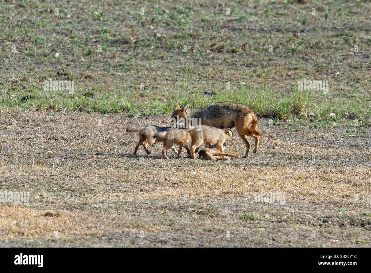 El gato indio femenino (Canis aureus) alimentándose y jugando con sus cachorros, la reserva de tigre de Kanha o el parque nacional de Kanha-Kisli, estado de Madhya Pradesh, India Foto de stock