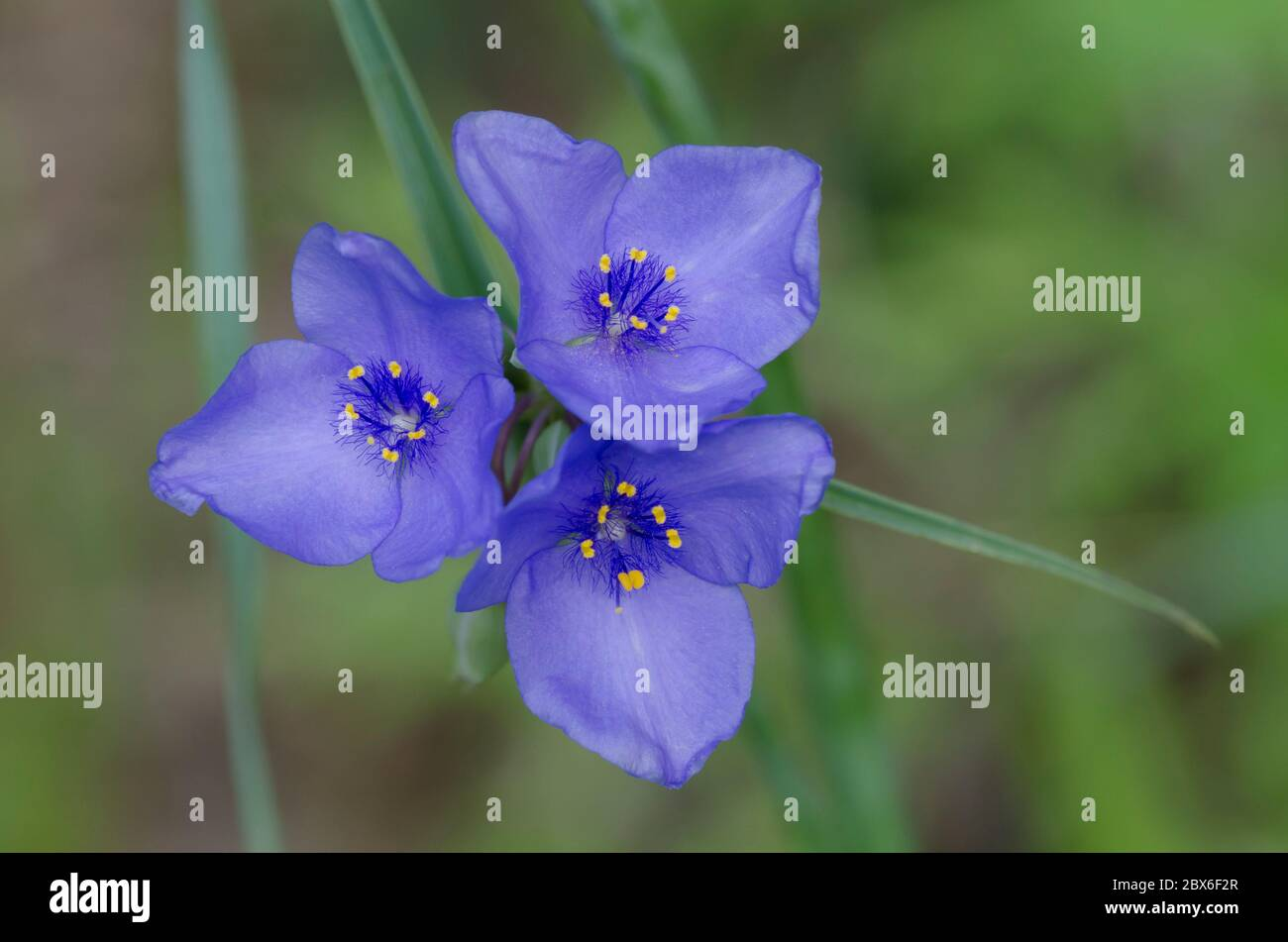 Spiderwort, Tradescantia sp. Foto de stock