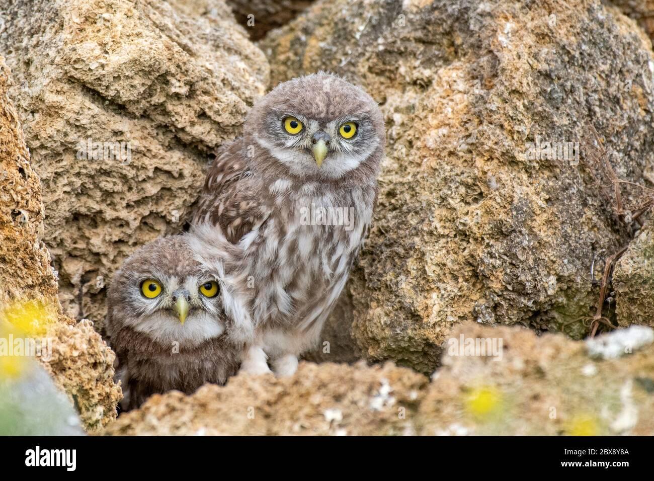 Dos pequeñas lechuzas, Athene noctua, sacando un ojo de un agujero en las rocas. Foto de stock
