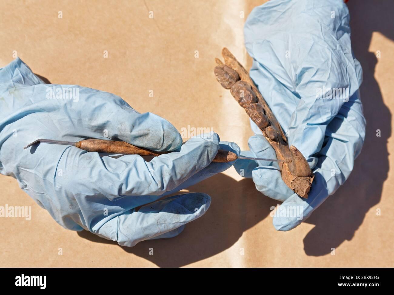 El arqueólogo limpia cuidadosamente con un cepillo a encontrar - parte de la mandíbula del oso. La edad medieval. Preparación para el transporte para pruebas de laboratorio adicionales Foto de stock