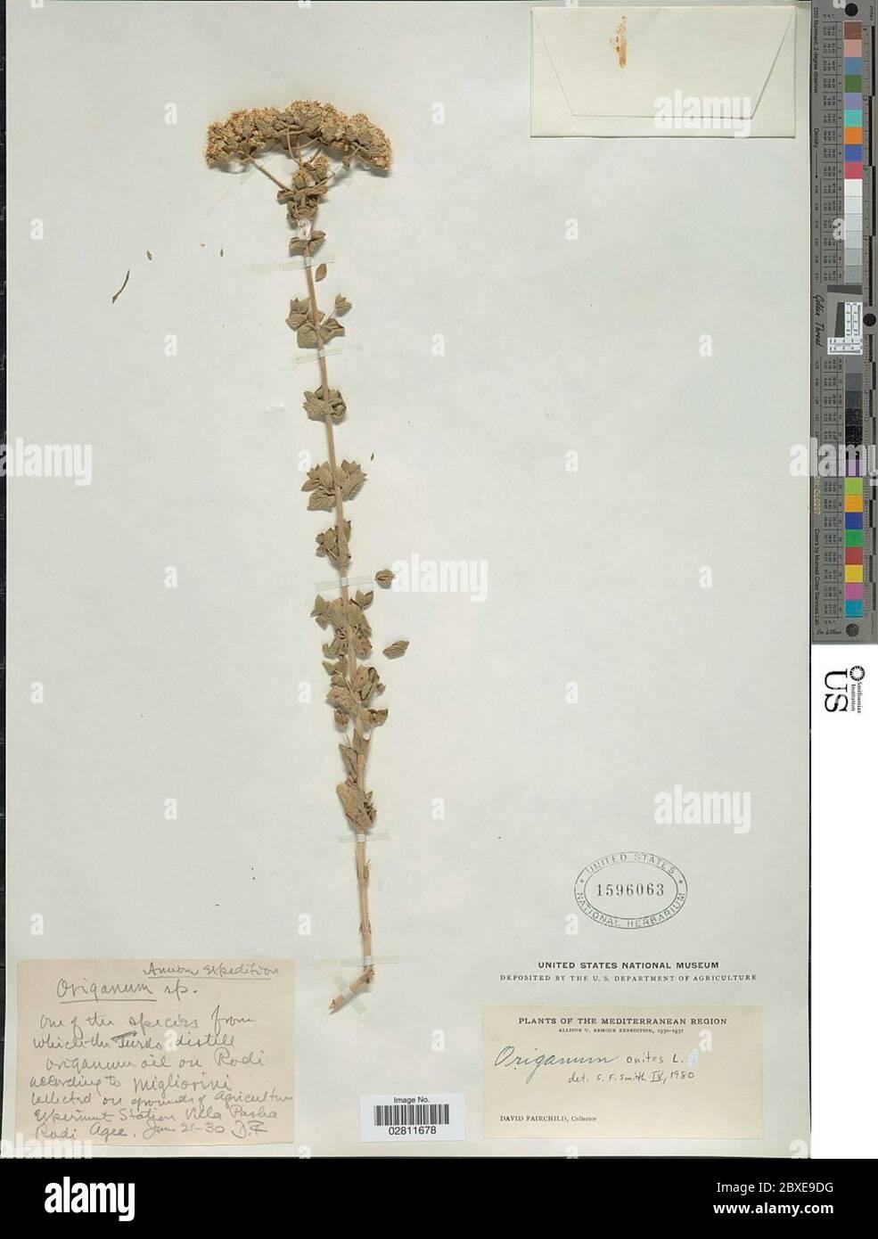 Origanum onites L Origanum onites L. Foto de stock