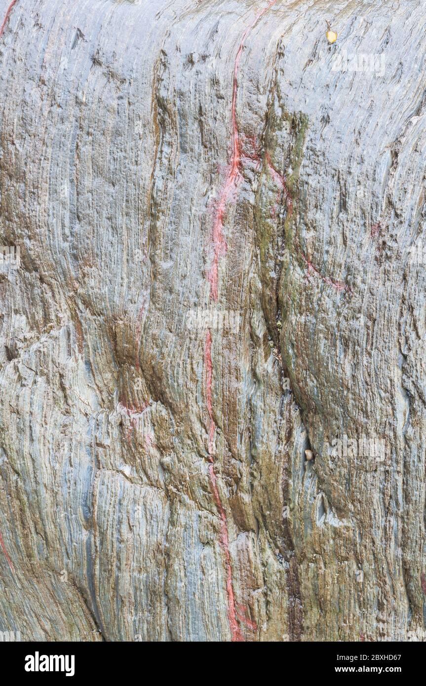 Una sola capa delgada de un mineral rojo se muestra en los estratos de una roca gris húmeda multicapa en la costa sur de Devon. Foto de stock