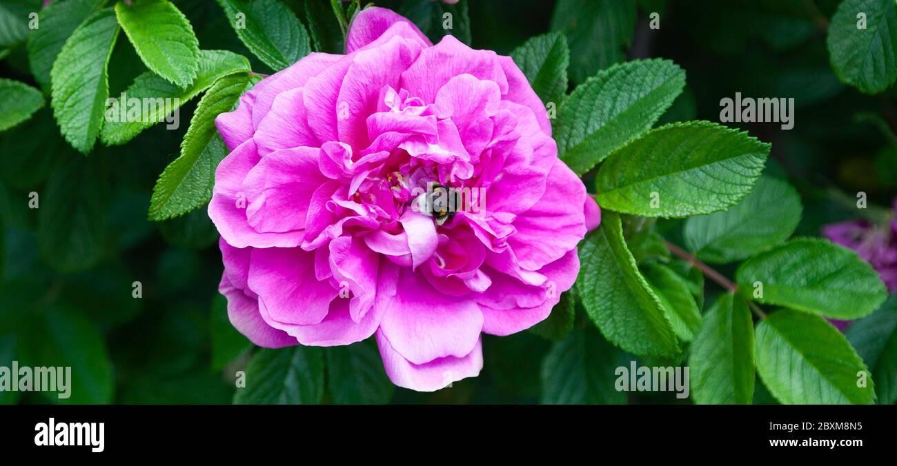 Cerca de una hermosa rosa rosa en un arbusto y una abeja abejorro que consume néctar del núcleo de la flor. Foto de stock