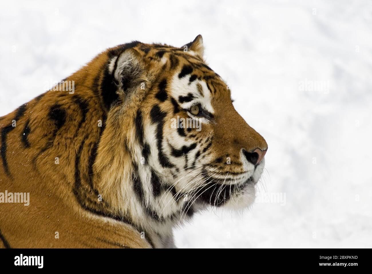 Sibirian tigre (Panthera tigris altaica) en la nieve Foto de stock