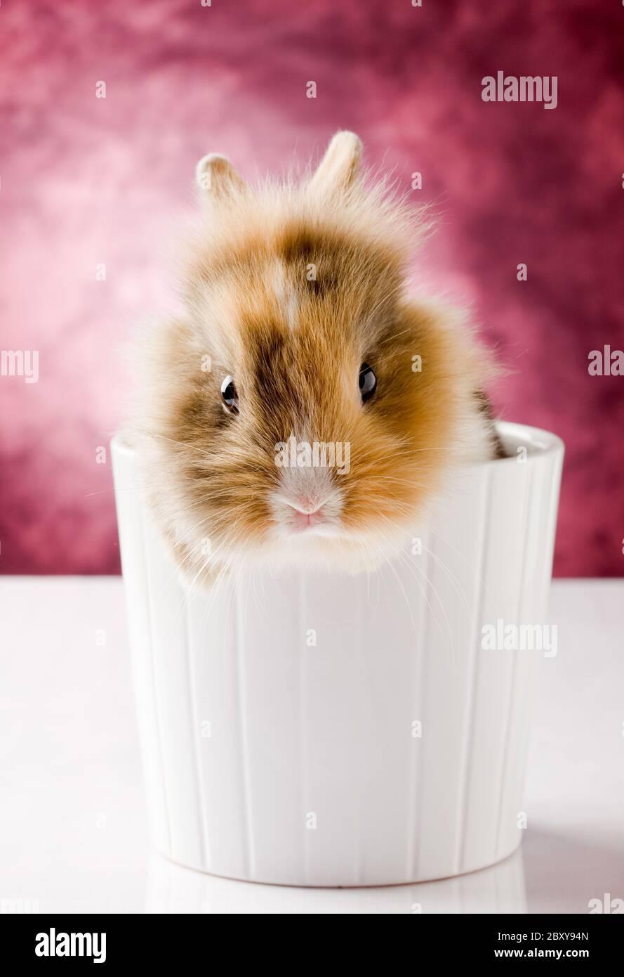 Conejo enano con cabeza de León Foto de stock