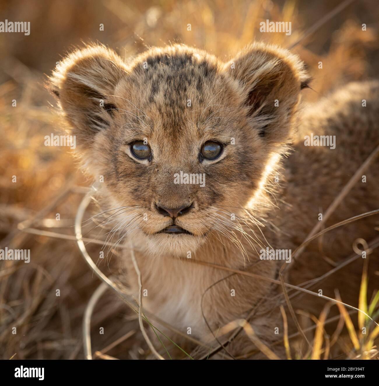 Un pequeño cachorro de león retroiluminado retrato de cerca en la cara con luz de la tarde cálida en Kruger Park Sudáfrica Foto de stock
