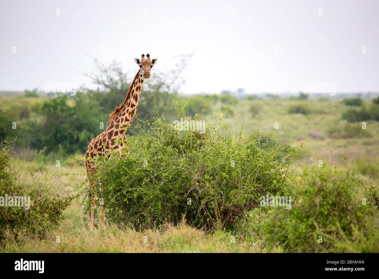 Giraffe está entre el arbusto y los árboles en la sabana de Kenia Foto de stock