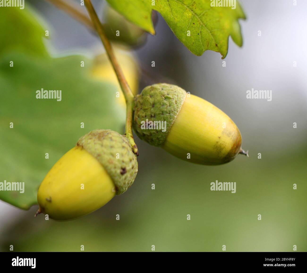 Bellotas verdes en las ramas de robles Foto de stock