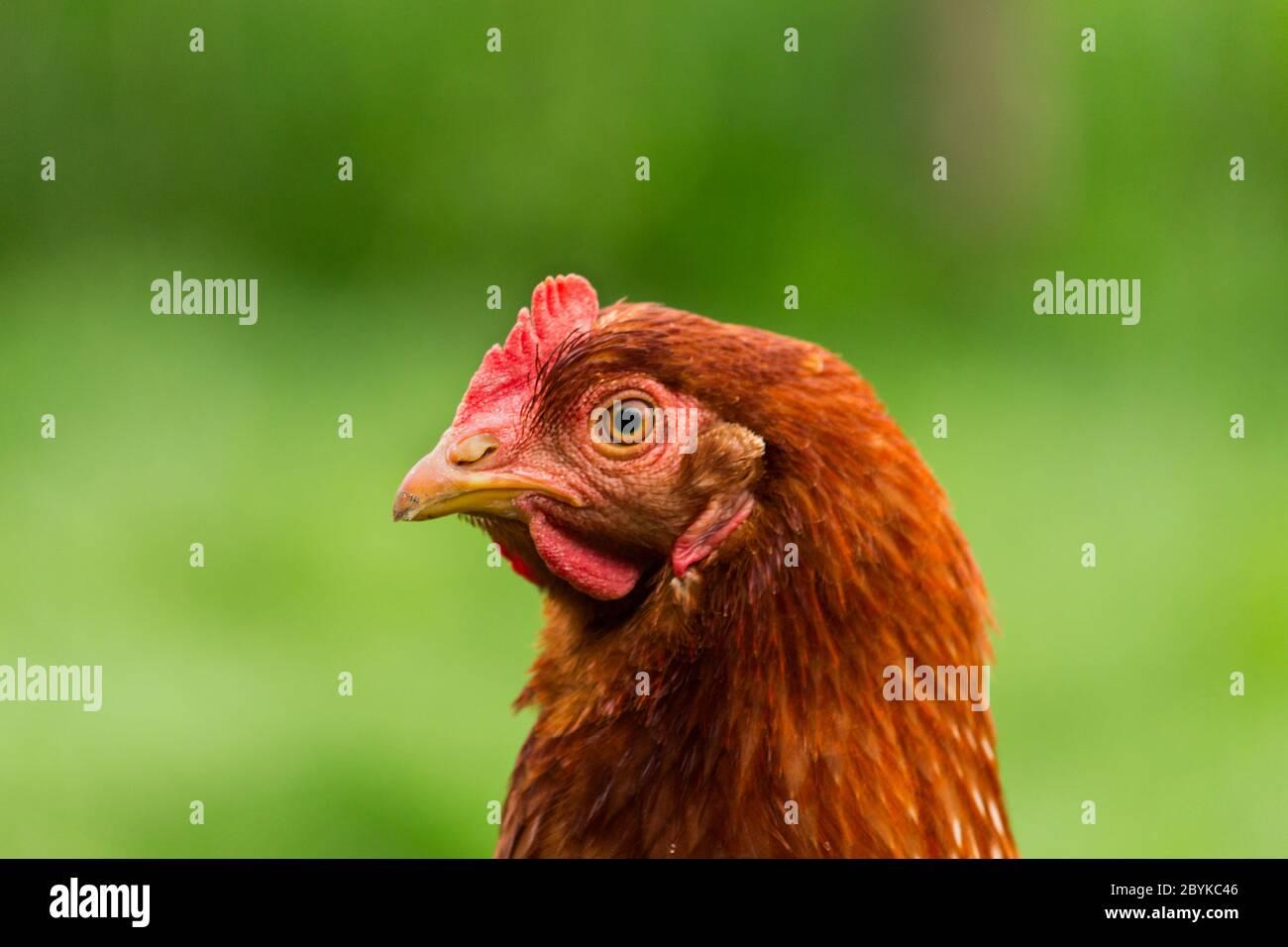 Las gallinas se alimentan en la tradicional rural de corral en día soleado. Detalle de la cabeza de gallina. Pollos sentados en el gallinero. Cerca de pollo parado en el granero Foto de stock