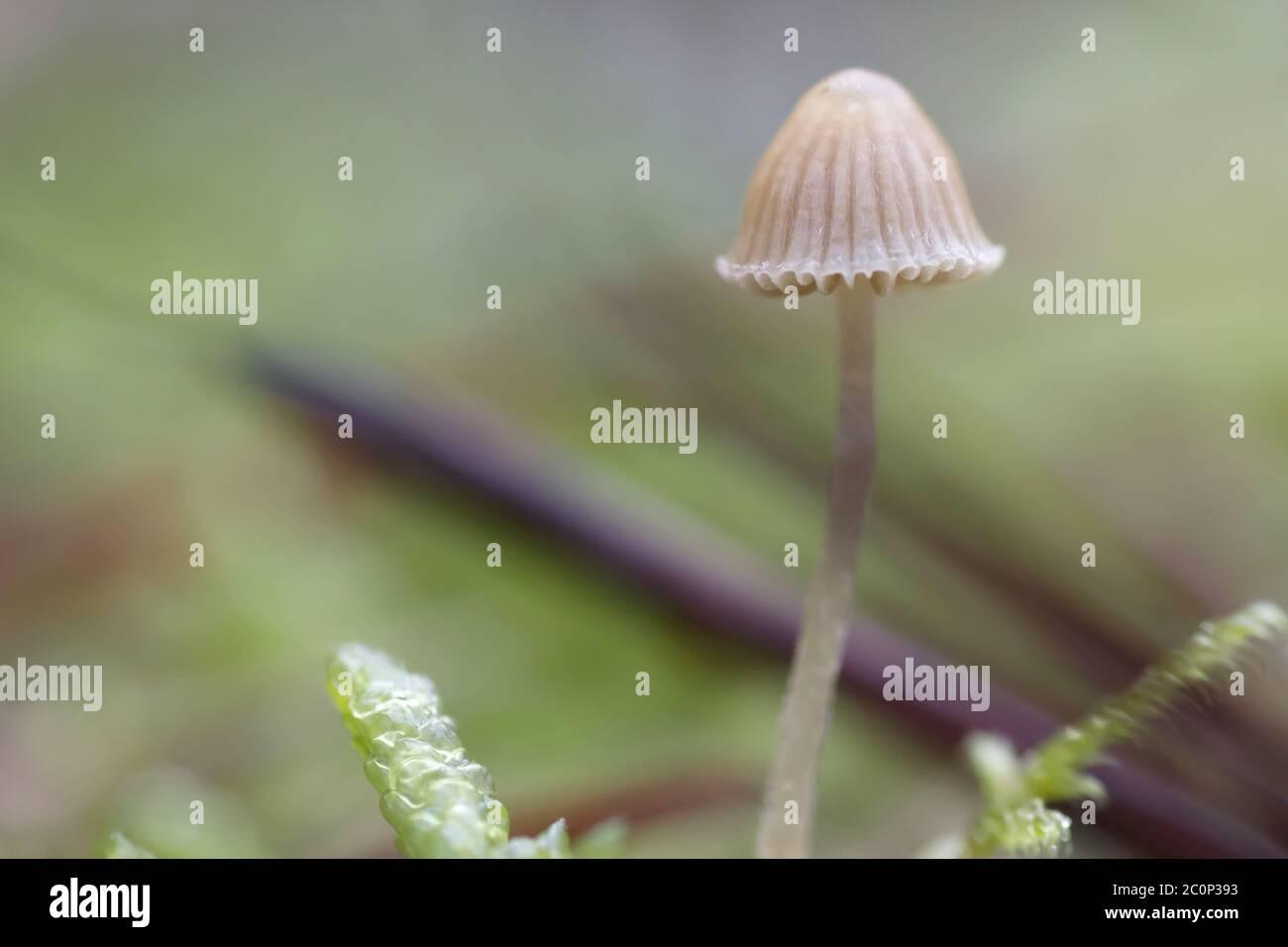 Pequeño hongo silvestre micena de cerca Foto de stock