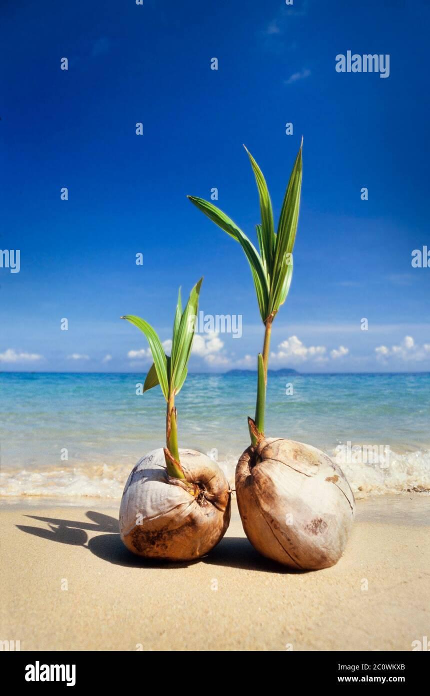 Germinando coco en una playa tropical, Cocus nucifera, Pulau Tioman isla, Malasia Foto de stock