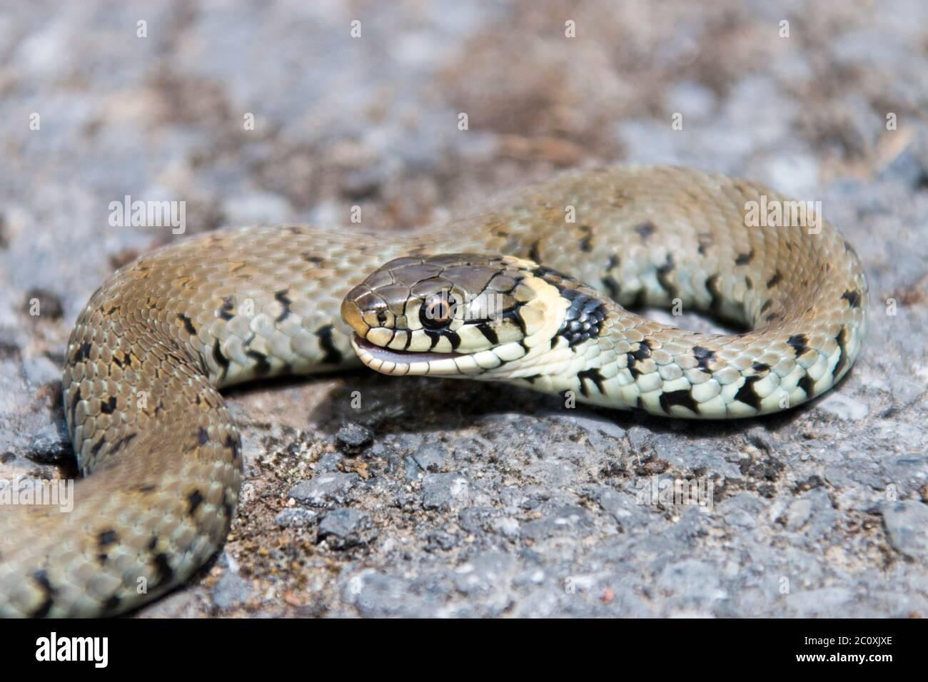 Hierba serpiente, Natrix natrix, cogida por un gato. Foto de stock