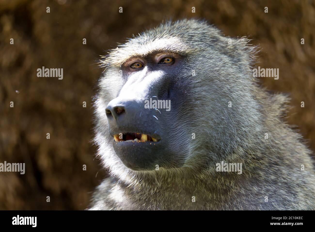 Un babuino ha encontrado una fruta y la come Foto de stock