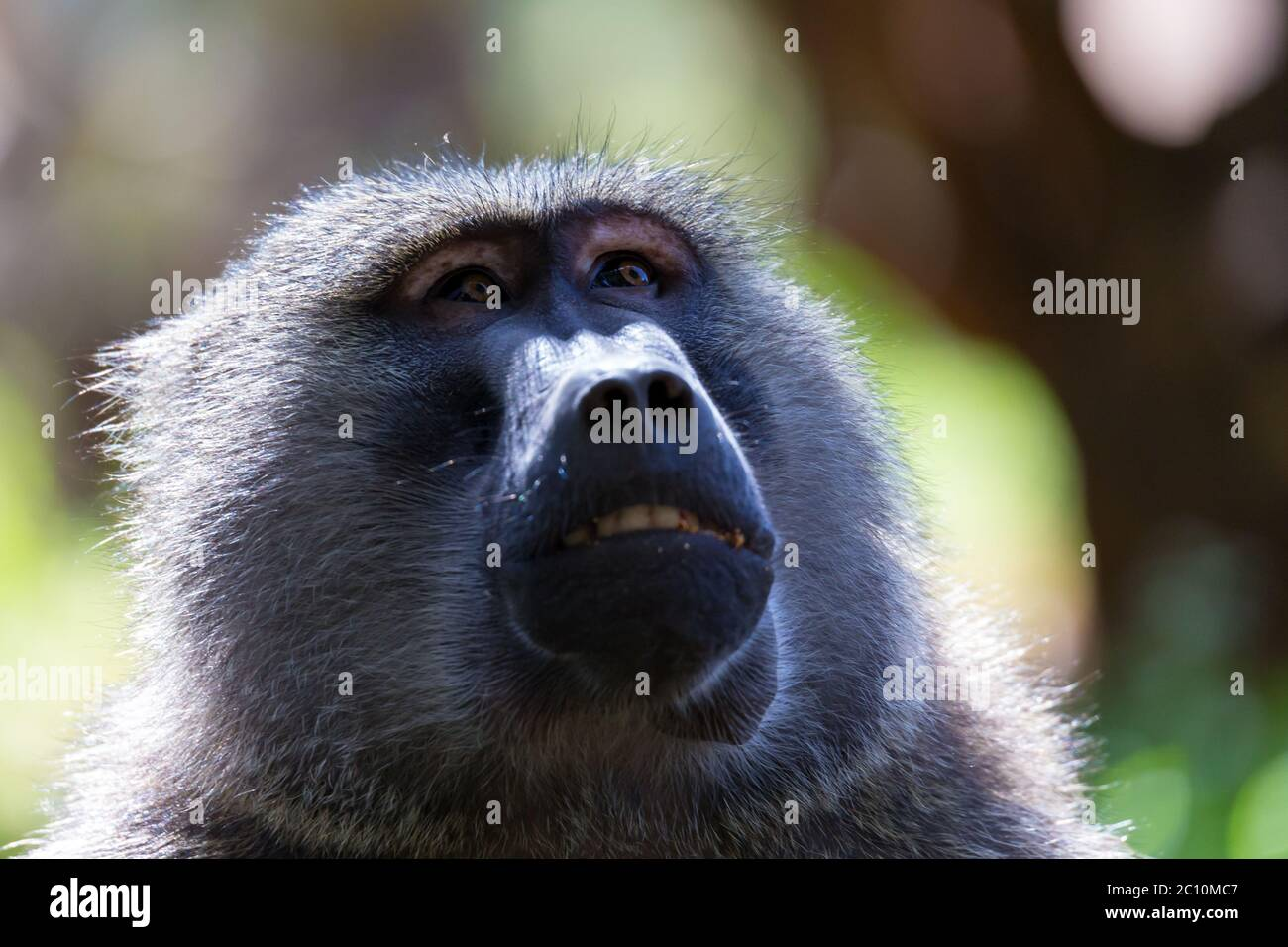 parque natural, conducción de juegos, cabello, sentado, fotografía, babuino aislado, animales, cara babuino, criatura, mara, masai, divertido, reserva, majestuoso, endangere Foto de stock