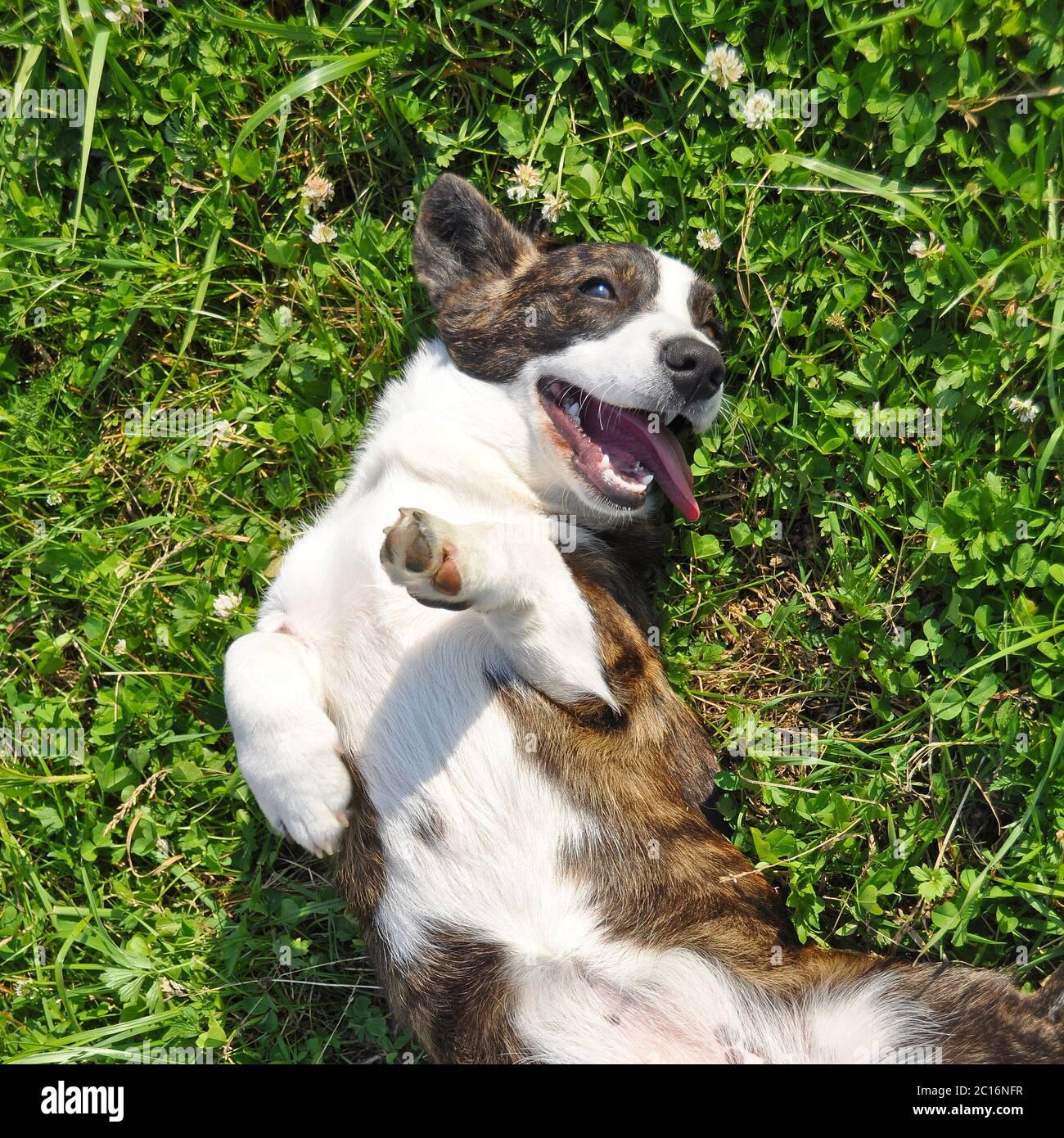 Galés Cardigan Corgi perro superior vista en la hierba Foto de stock
