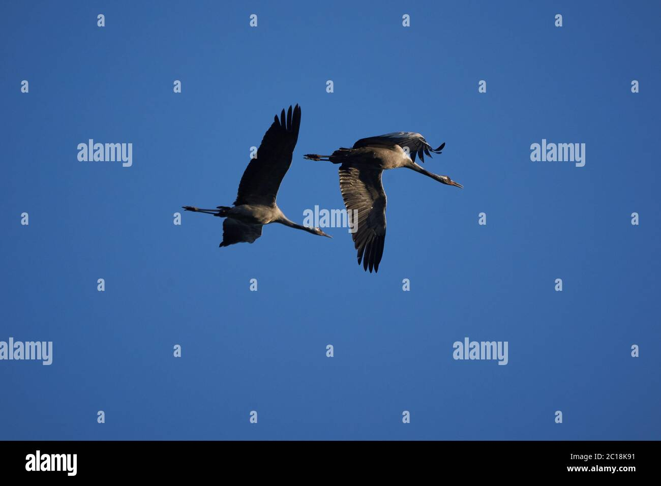 Grúa común Grus grus también grúa Eurasia en vuelo al noreste de Alemania Foto de stock