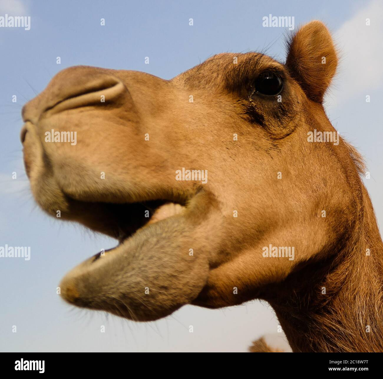 Retrato de la cabeza de camello gracioso, Sharjah, EAU Foto de stock