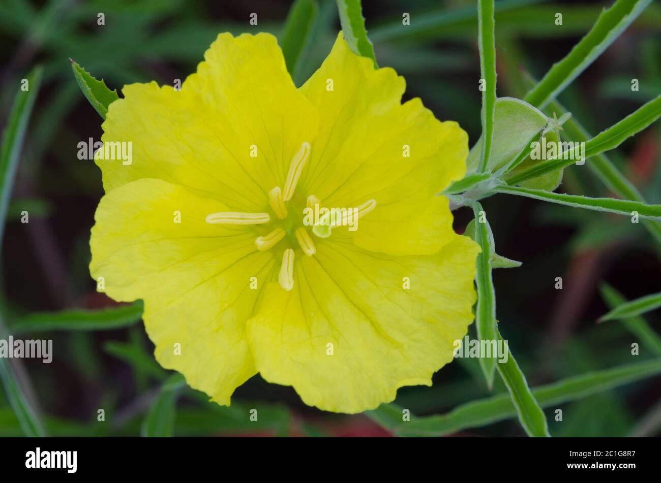 Sundrops, Oenothera sp. Foto de stock