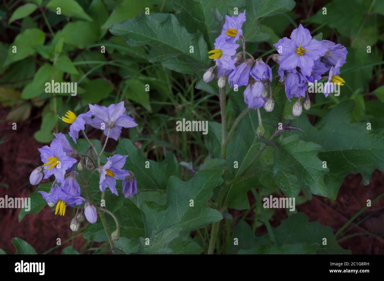 Sombra nocturna, Solanum sp. Foto de stock
