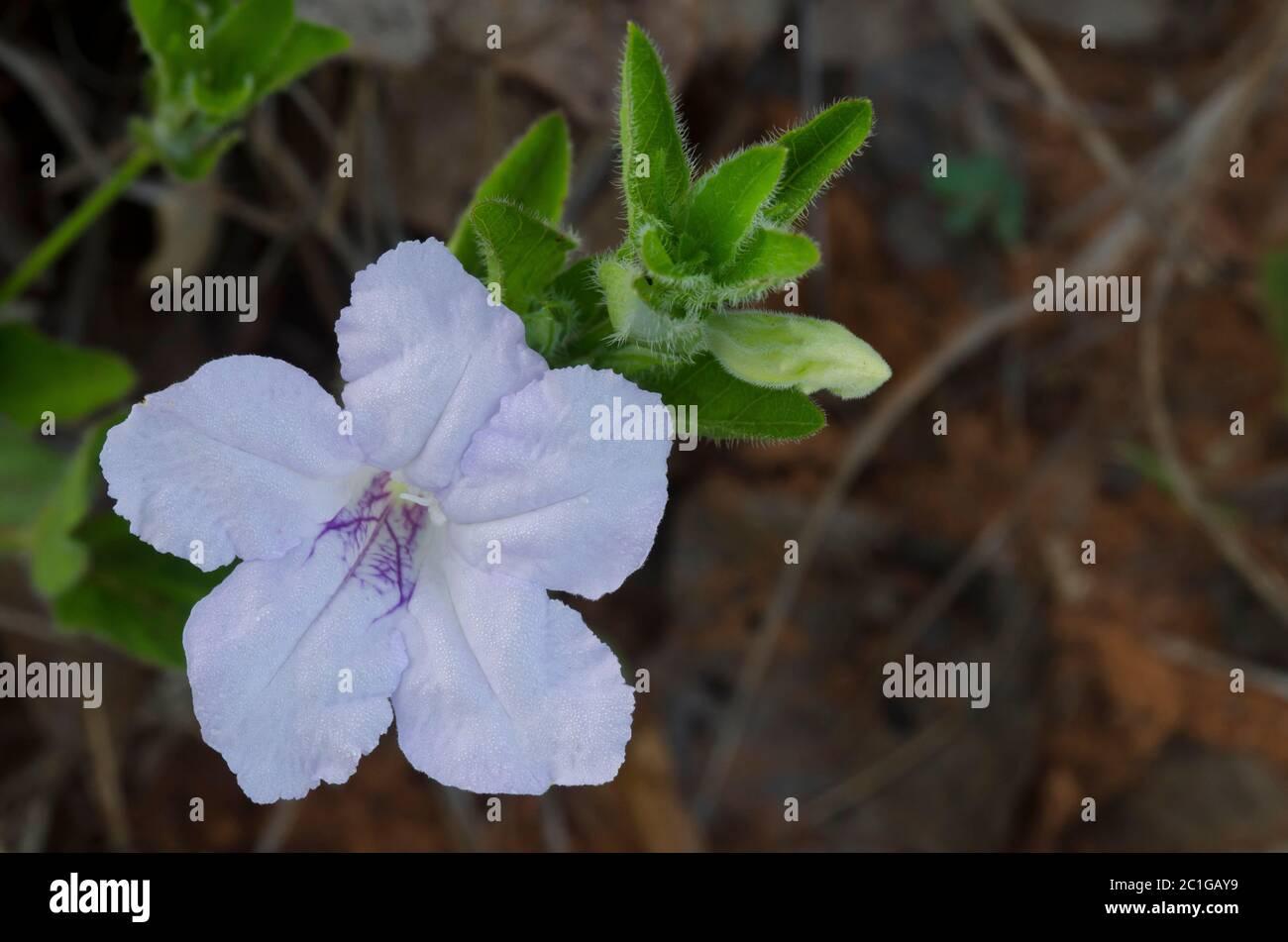 Petunia silvestre, Ruellia sp. Foto de stock