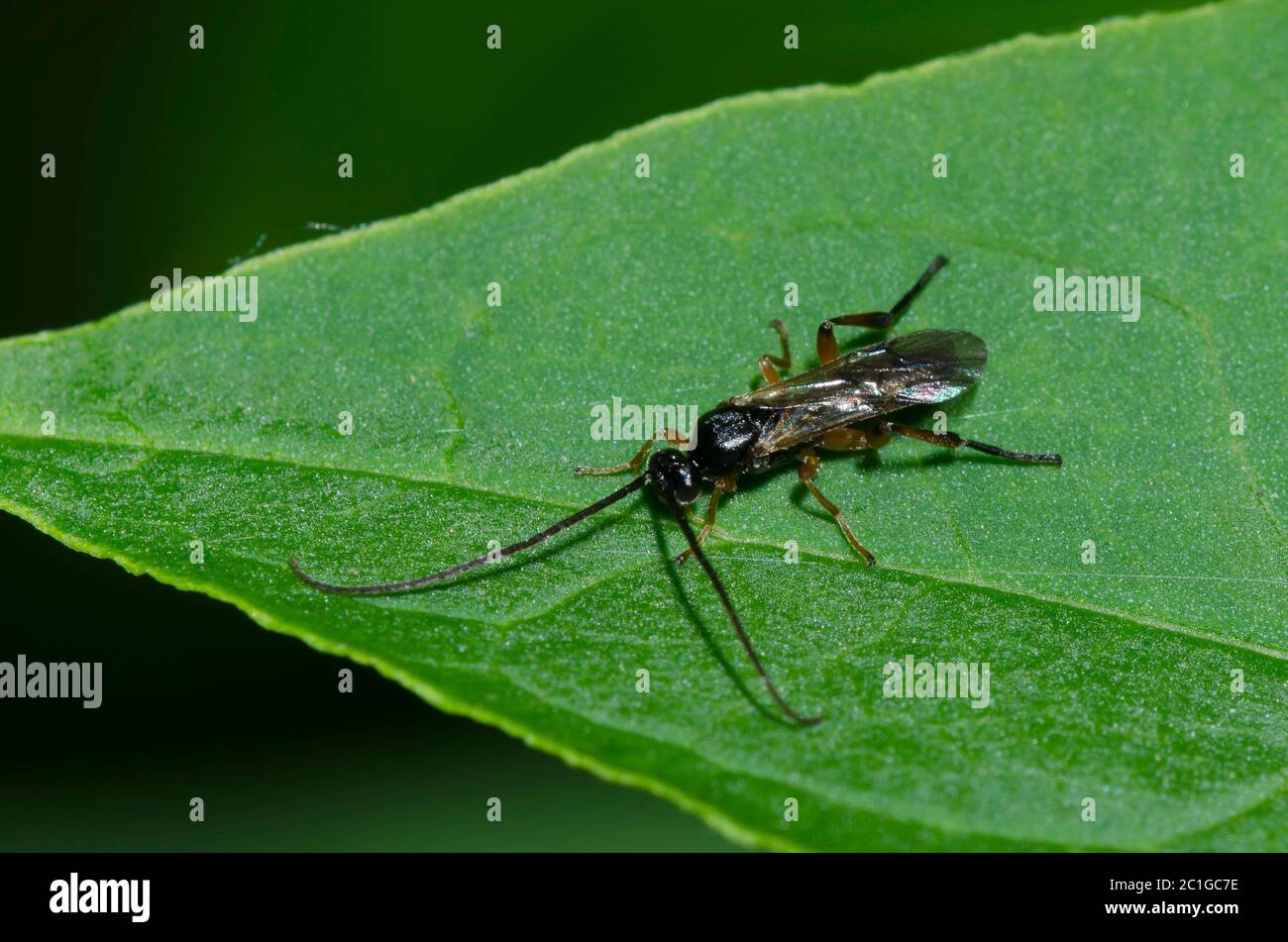 Braconid Wasp, Superfamilia Ichneumonoidea Foto de stock
