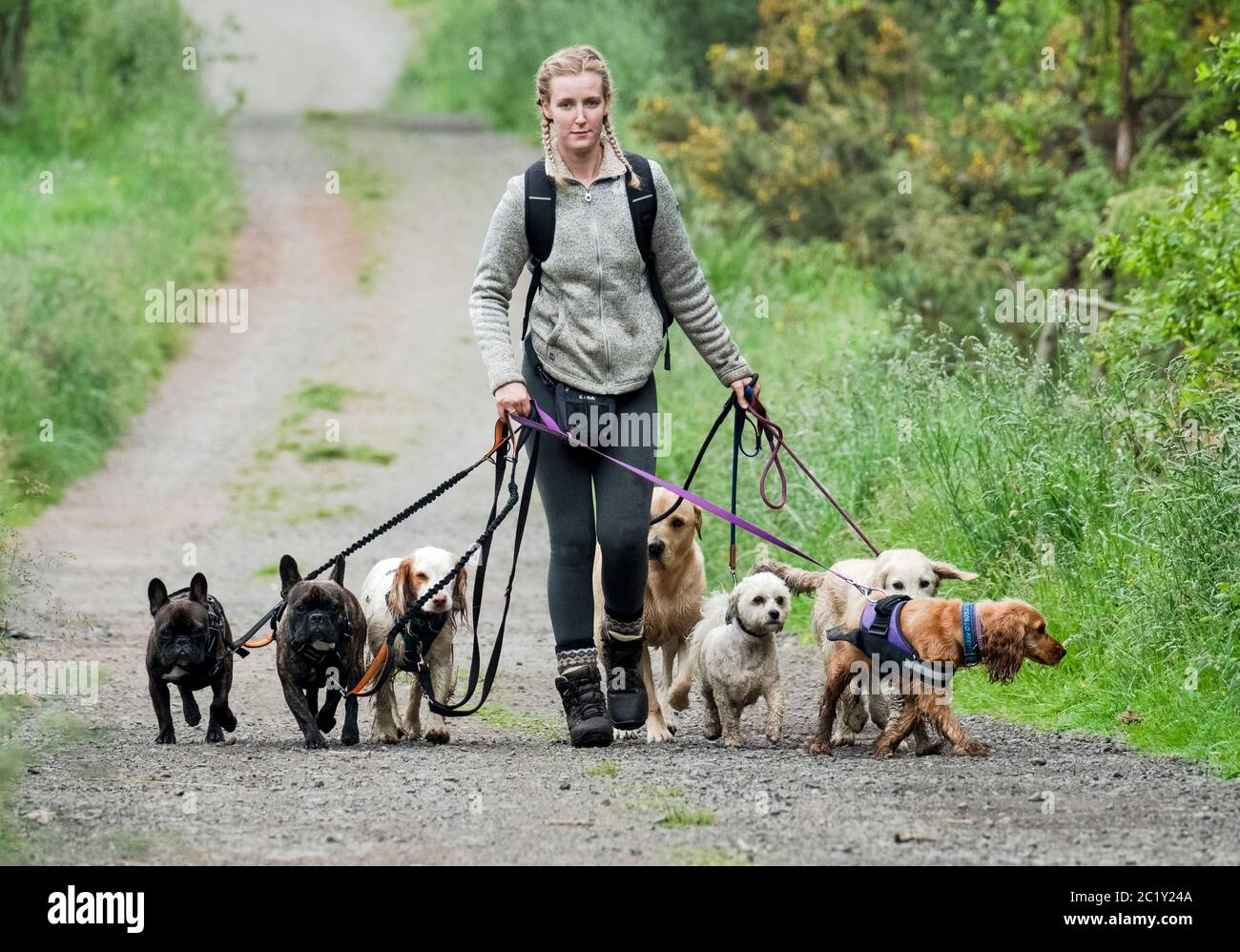 Perro profesional waker ejercitando varios perros a lo largo de un carril del país, West Lothian, Escocia Foto de stock