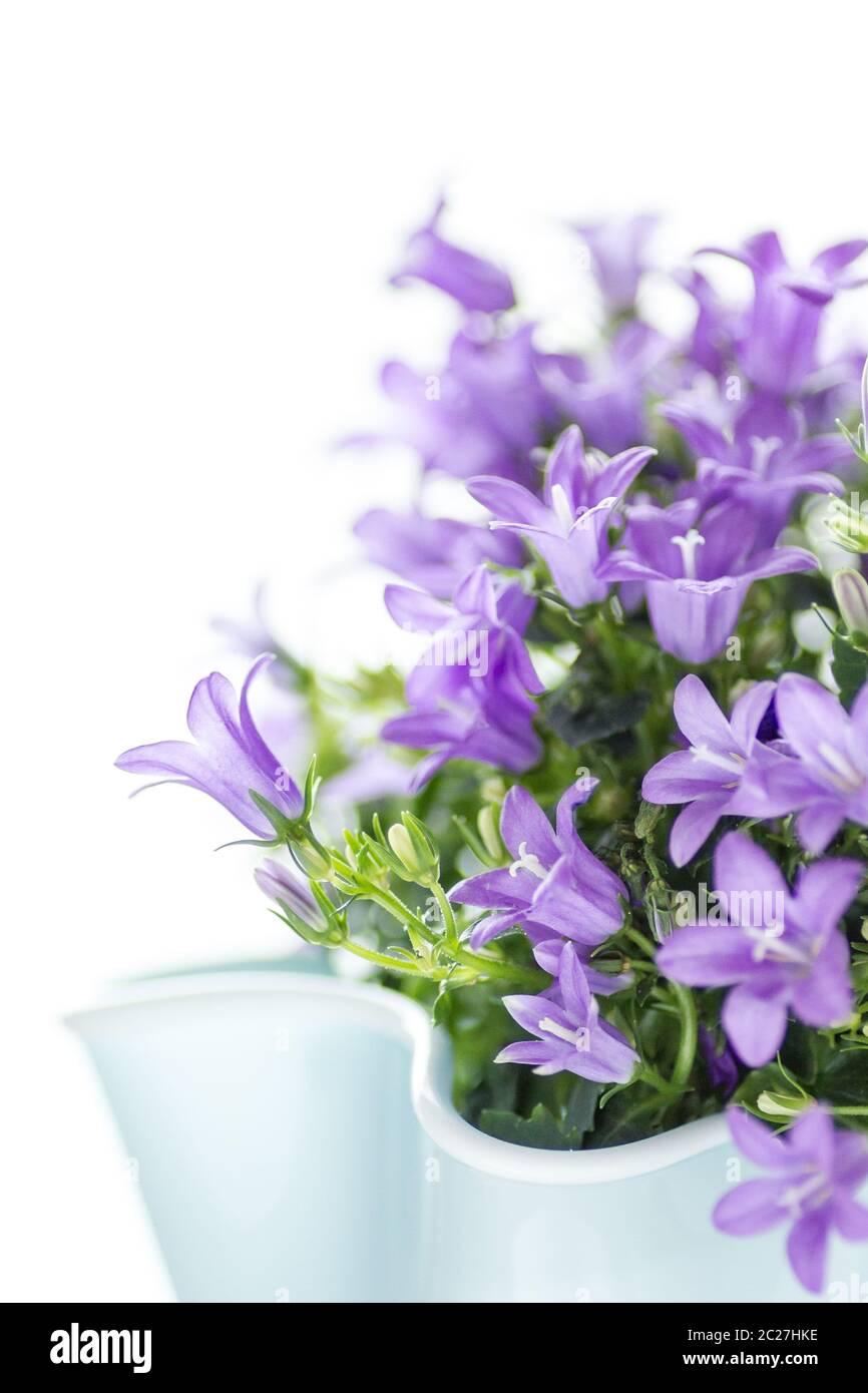 Bellflower dálmata aislado sobre fondo blanco. Concepto de jardinería y flores. Foto de stock