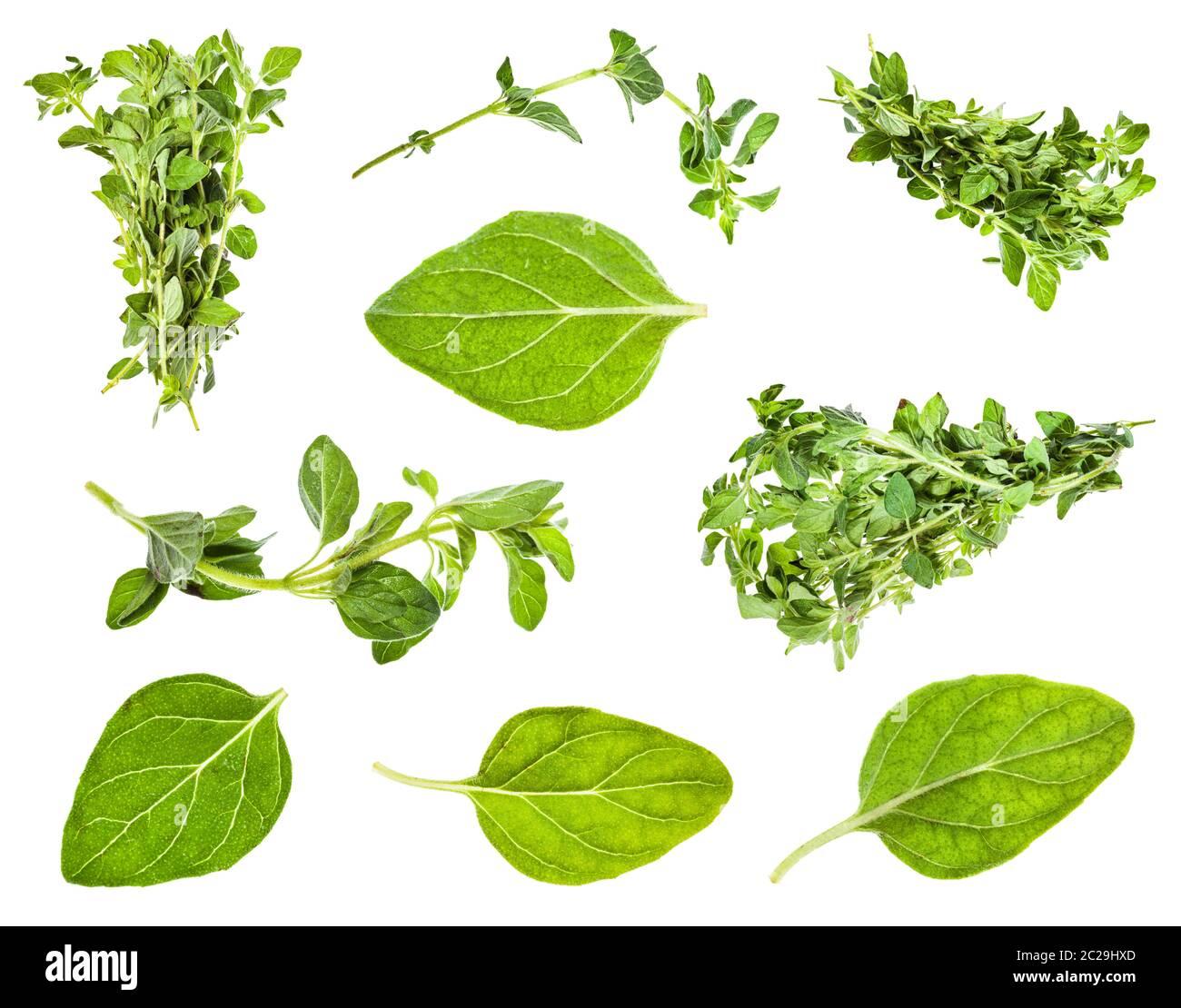 Conjunto de hojas y ramitas de orégano planta aislado sobre fondo blanco. Foto de stock