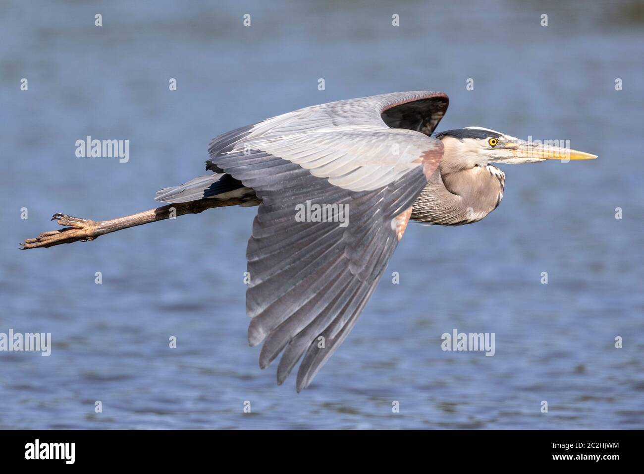 Great Blue Heron en vuelo Foto de stock
