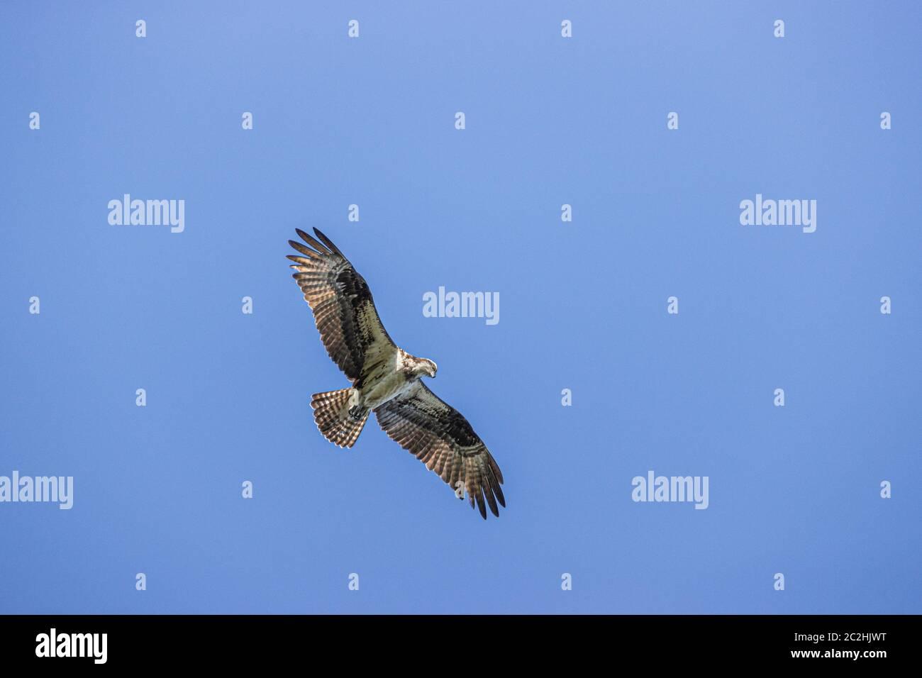 Osprey en vuelo sobre Eastwood Lake, Chapel Hill NC EE.UU. Foto de stock