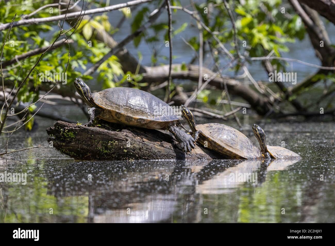 Tortugas Cooter, Lago Eastwood, Chapel Hill, NC Foto de stock
