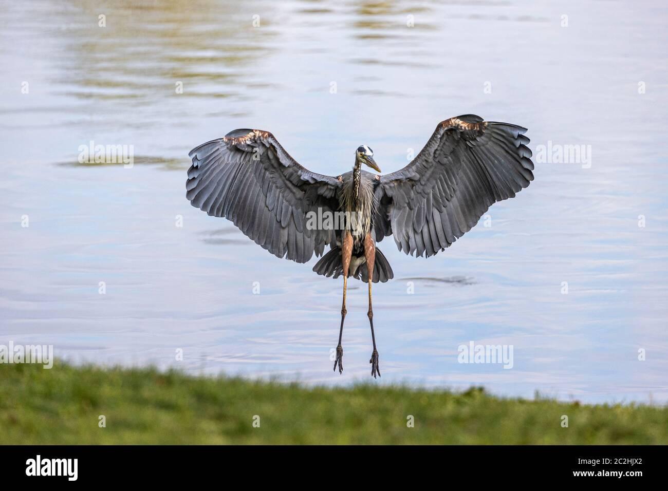Great Blue Heron Landing Lakeside Foto de stock