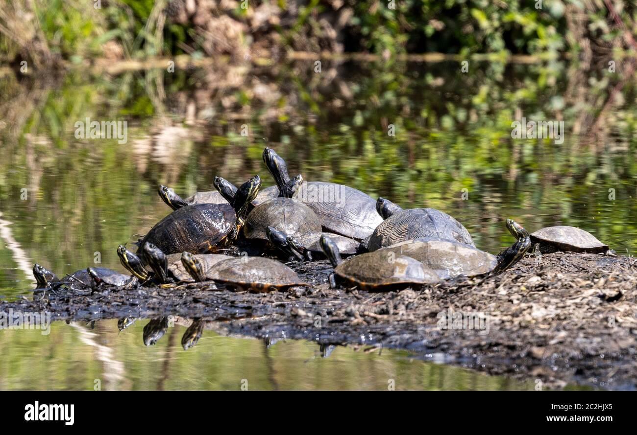 Tortugas no distanciamiento social en Chapel Hill Foto de stock