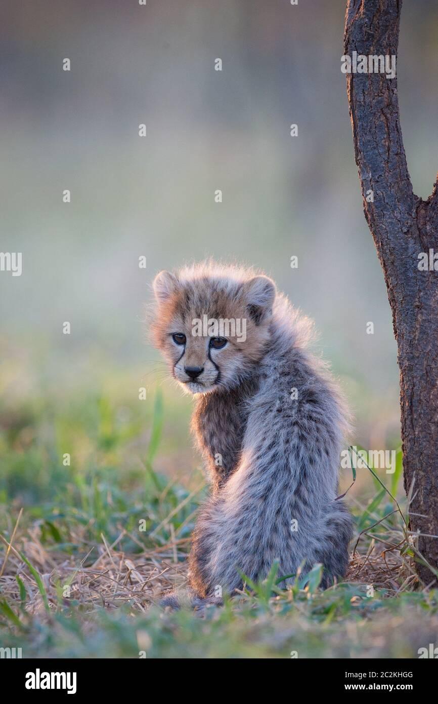 Un niño de guepardo esponjoso sentado junto a un árbol en la cálida luz de la tarde en Kruger Park Sudáfrica Foto de stock