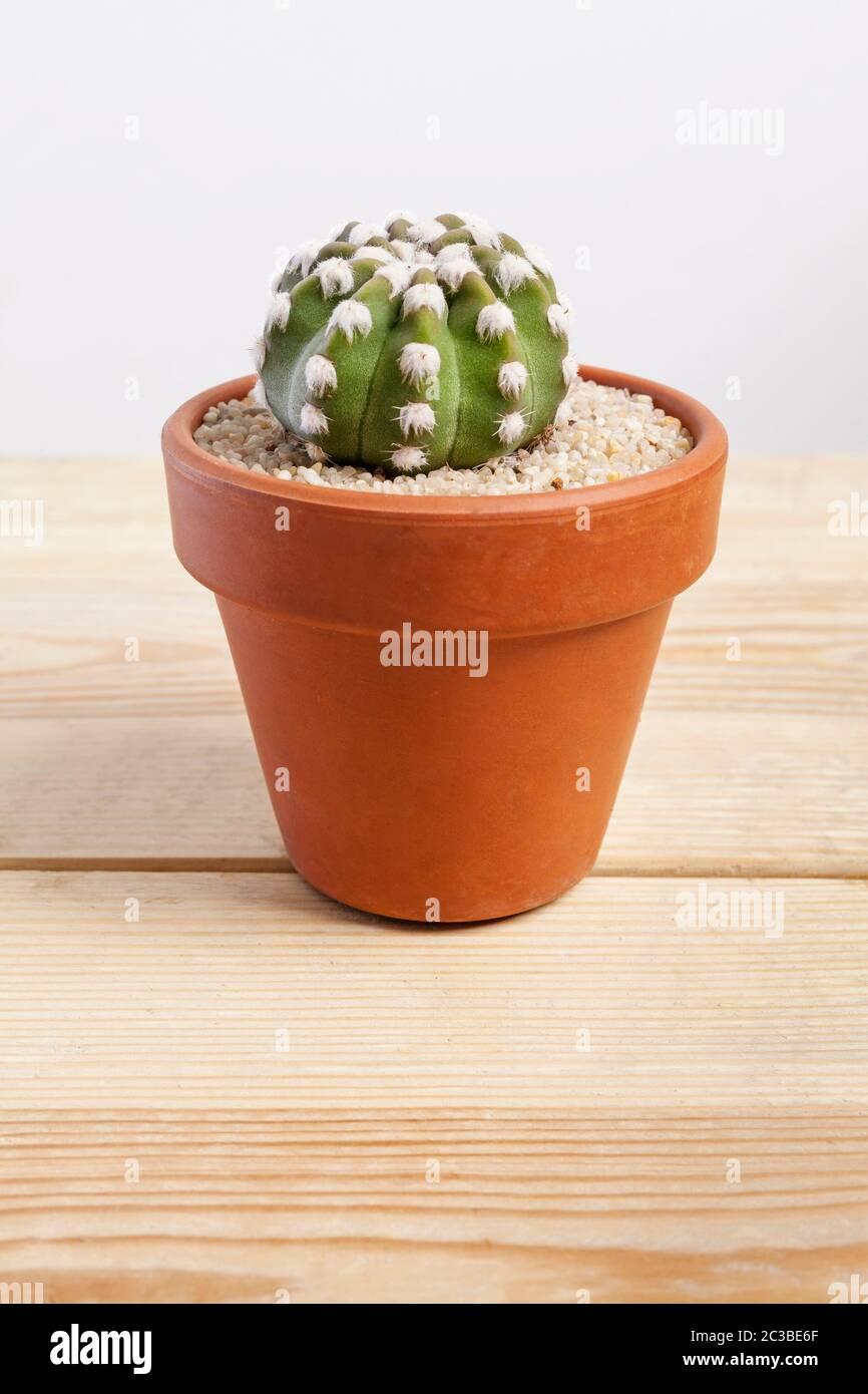 Echinopsis dominos planta de cactus en una olla sobre fondo de madera. Foto de stock