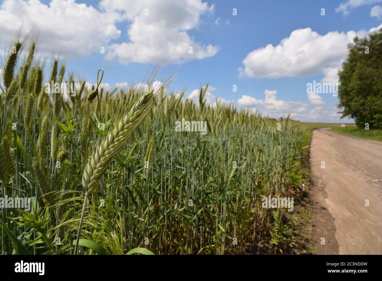 Oído de cebada cerrajada con un campo y una carretera de campo en el fondo Foto de stock