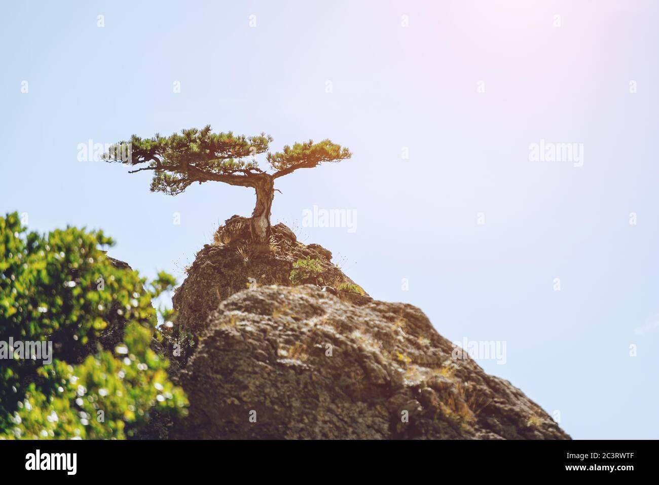 Pino solitario que crece en la cima de una montaña contra el cielo. Paisaje. Foto de stock