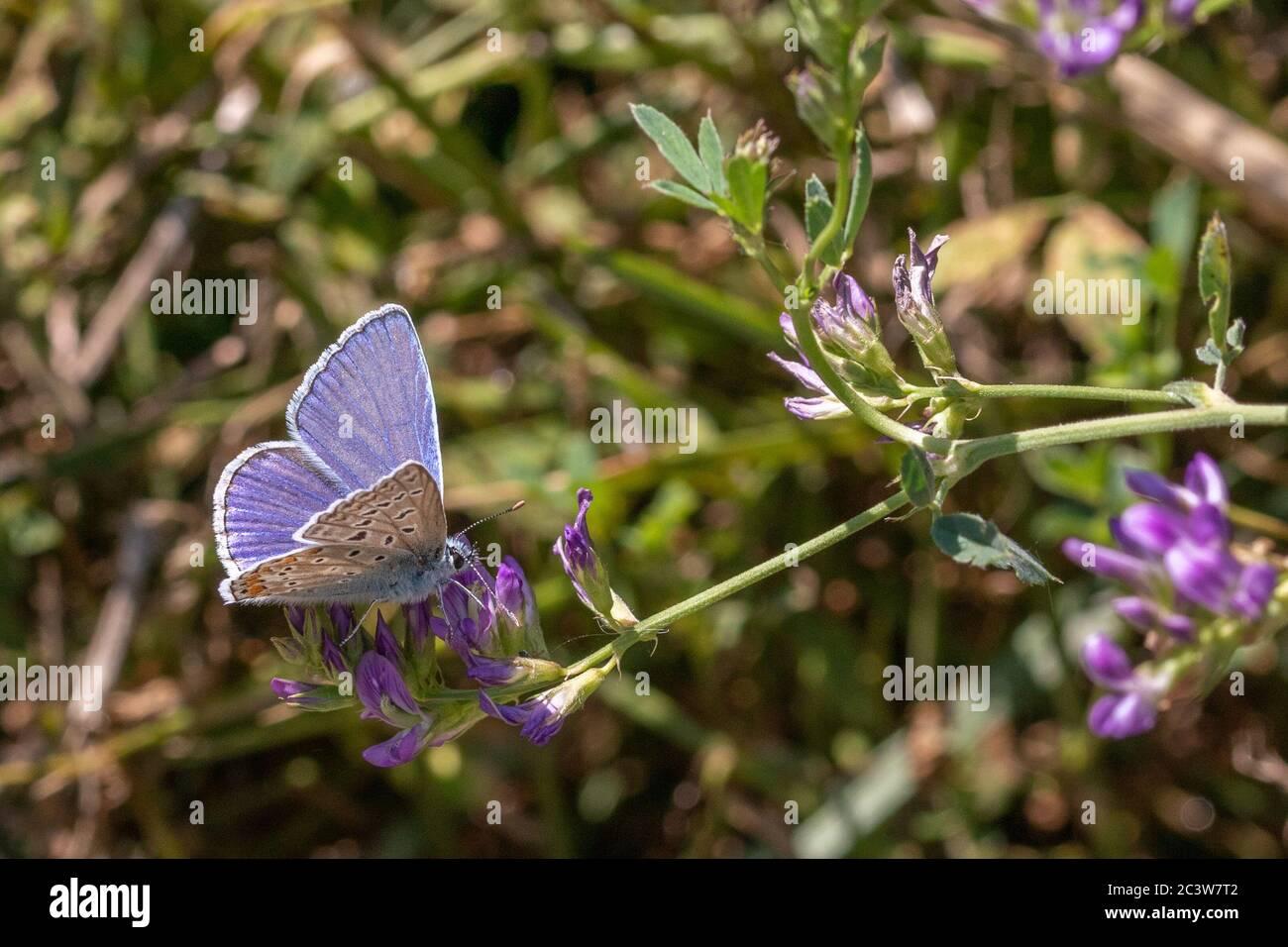 Polyommatus celina, Mariposa Azul del Sur Foto de stock