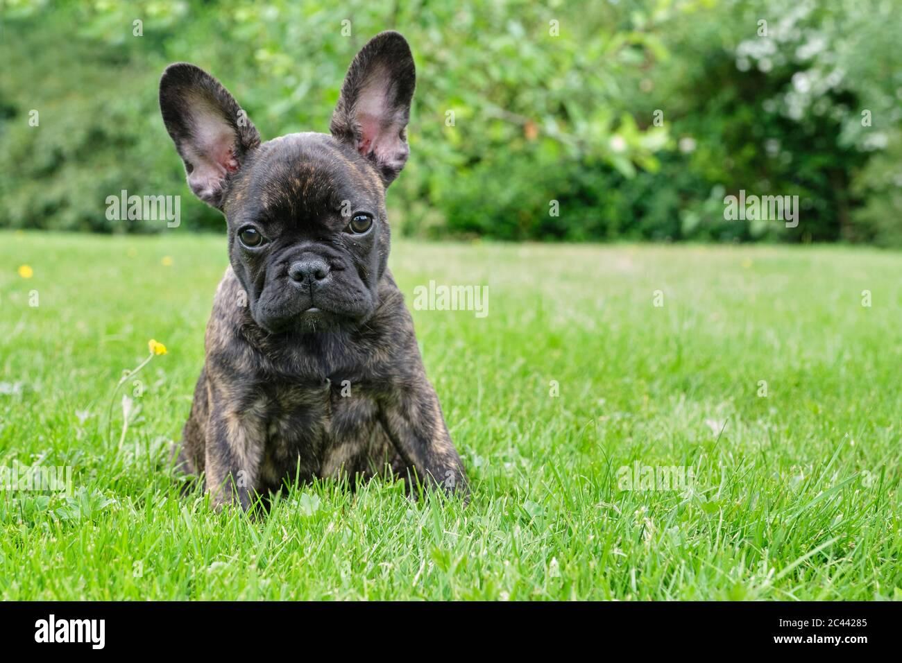 French Bulldog Pup Fotos E Imagenes De Stock Alamy