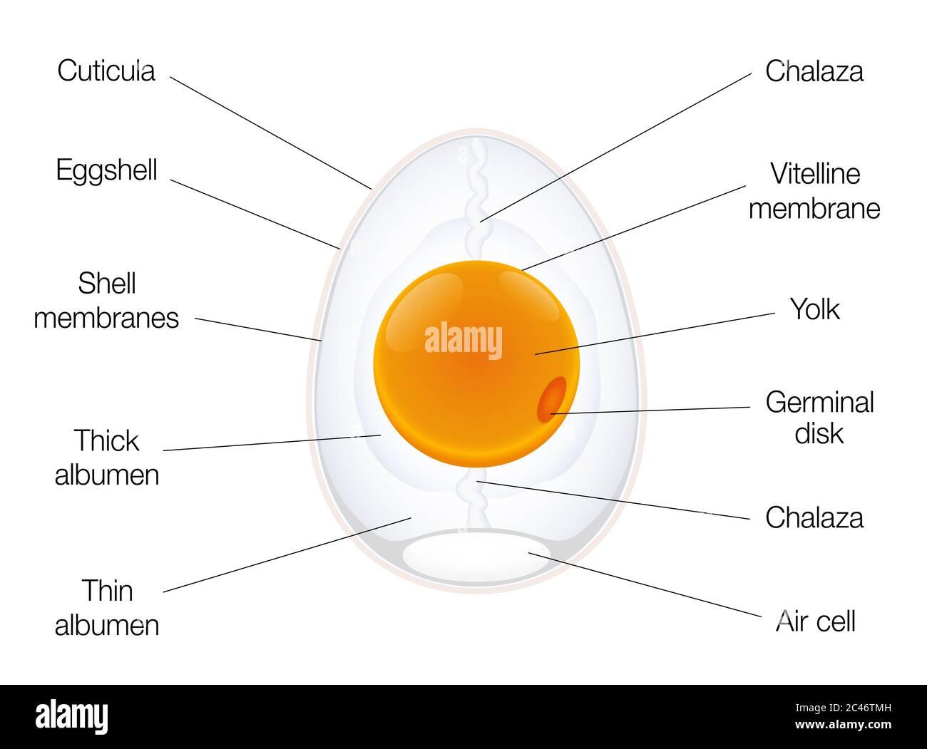 Anatomía de un huevo de aves. Gráfico de estructura de huevo con nombres de los componentes - ilustración sobre fondo blanco. Foto de stock