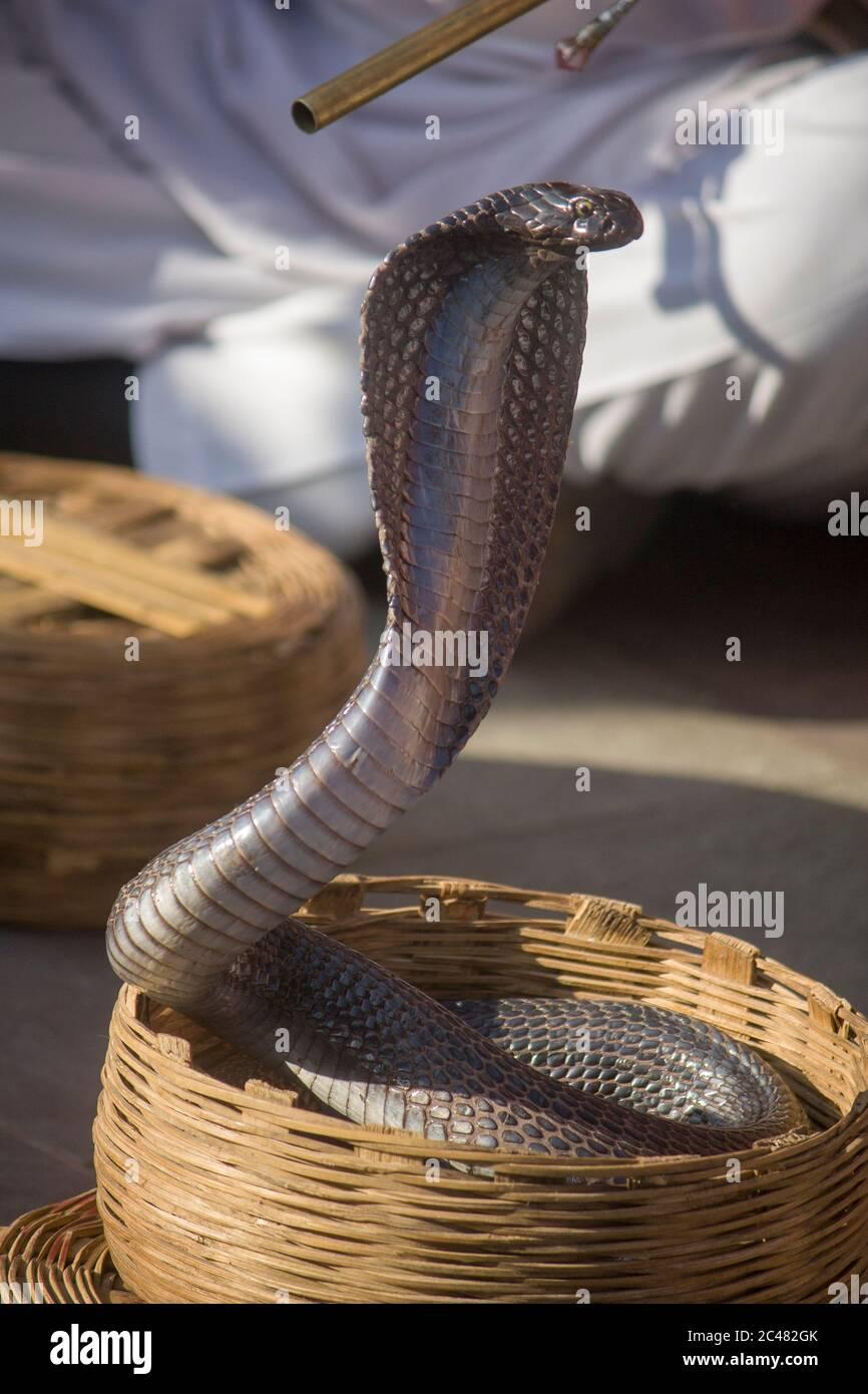 Una india cobra en la cesta de la serpiente de charmer Jaipur India. La cobra India es venerada en la mitología y la cultura de la India. Foto de stock