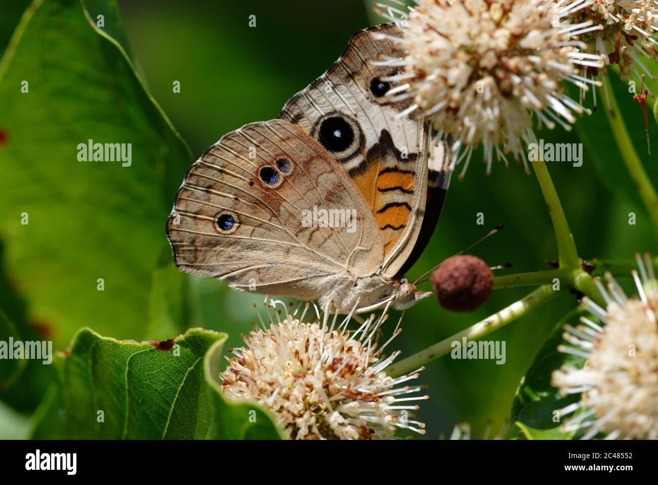 Buckeye común mariposa Foto de stock