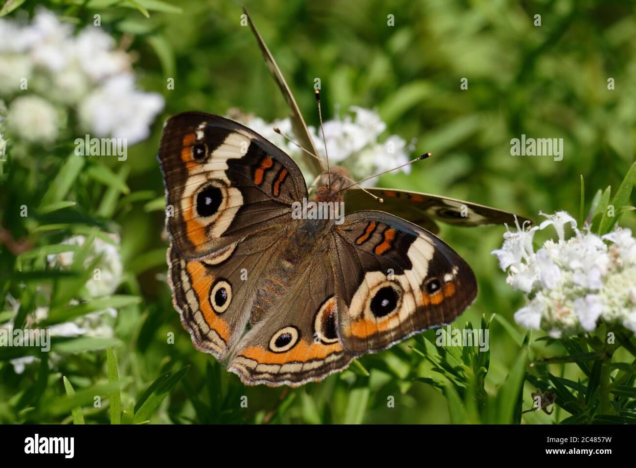 Buckeye común Foto de stock