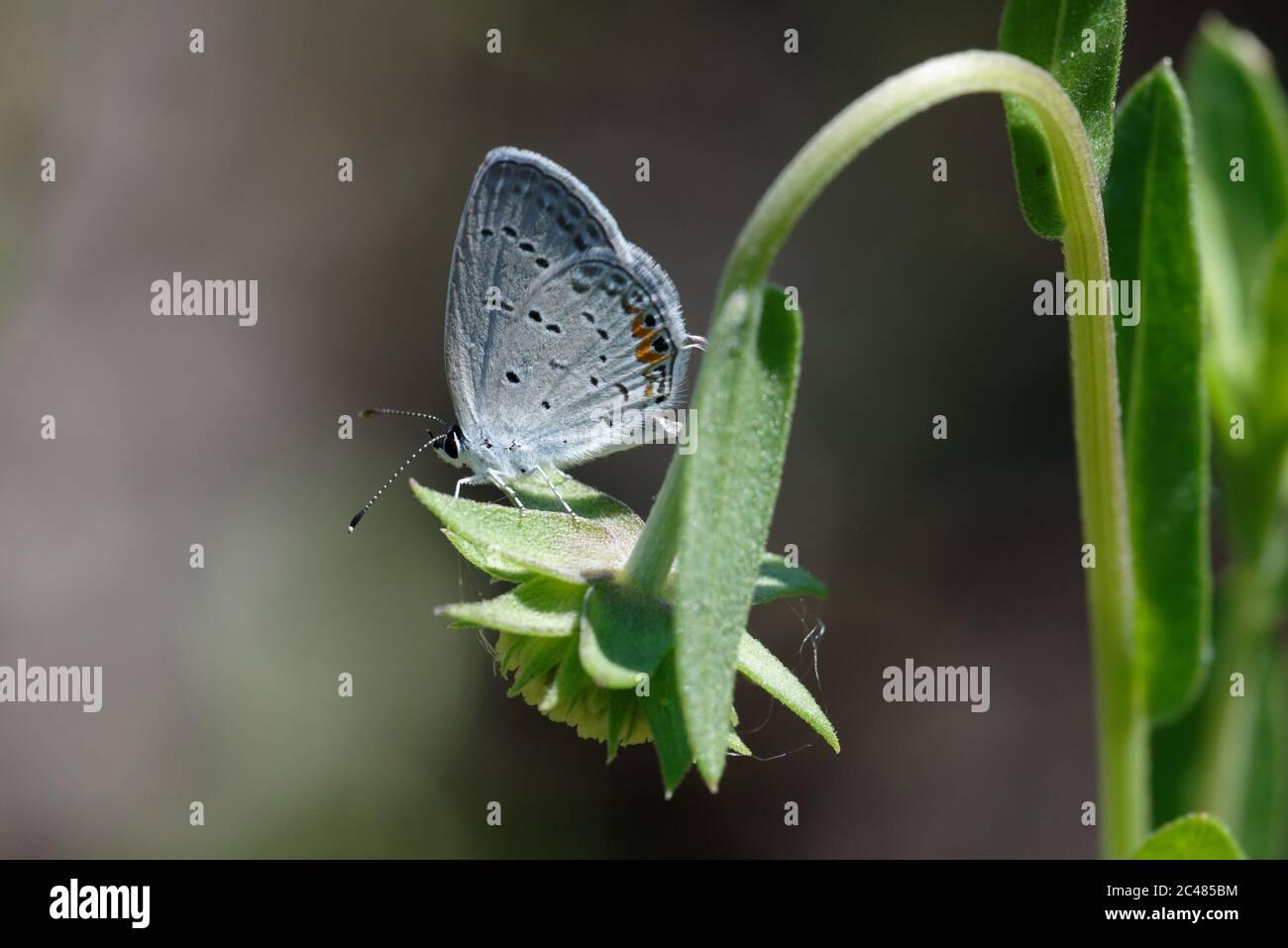 Tailed-Blue oriental Foto de stock