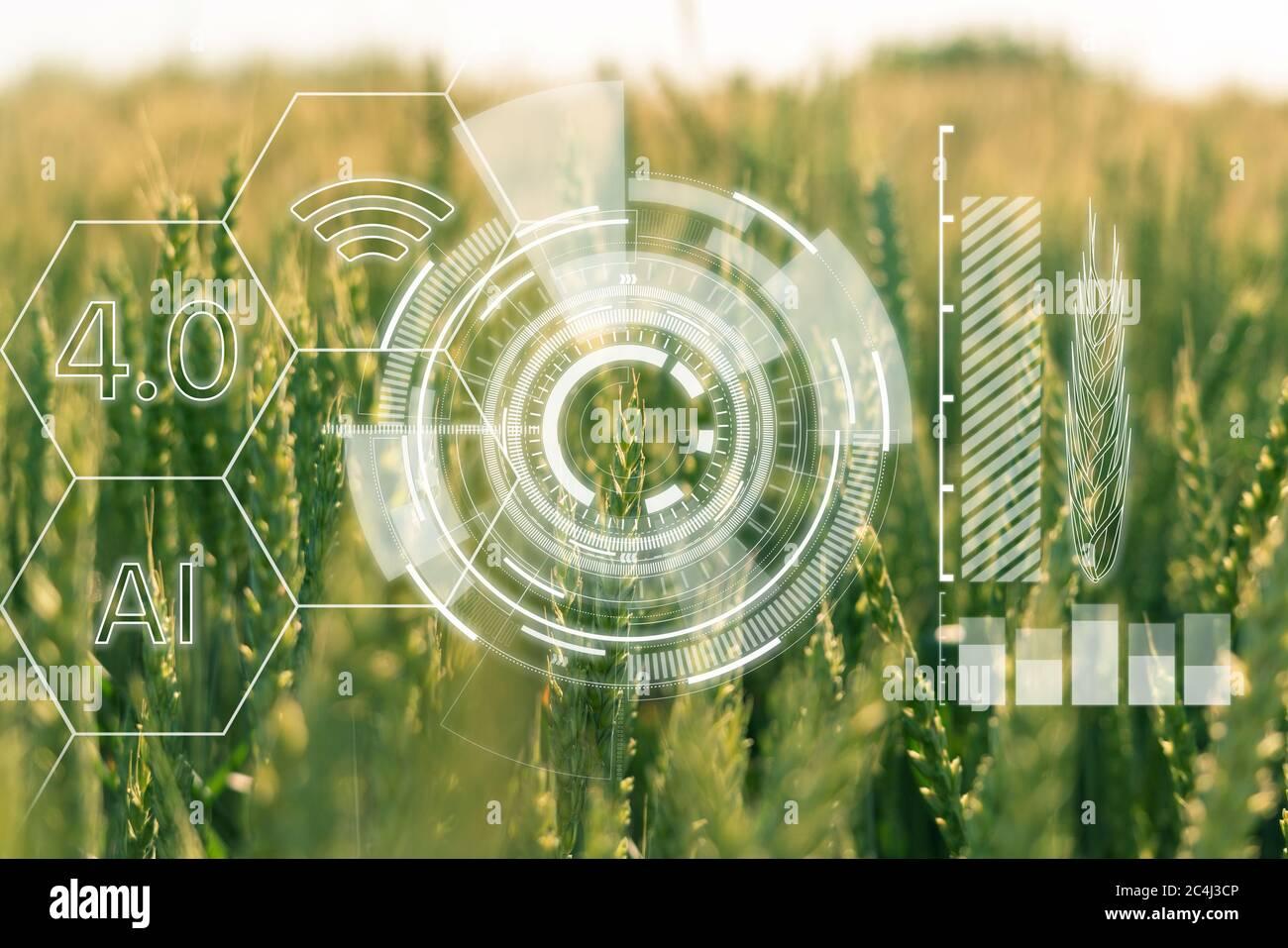 Orejas de trigo con infografía. Agricultura inteligente y agricultura de precisión 4.0 Foto de stock