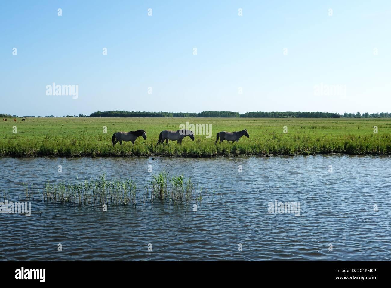 Europa Holanda - Caballos a orillas de un canal en Holanda Foto de stock