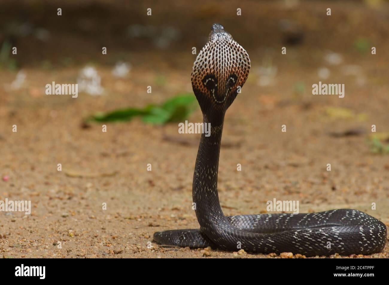 Una cobra moteado encapuchado (Naja naja) de la selva baja de Kalutara, Sri Lanka Foto de stock
