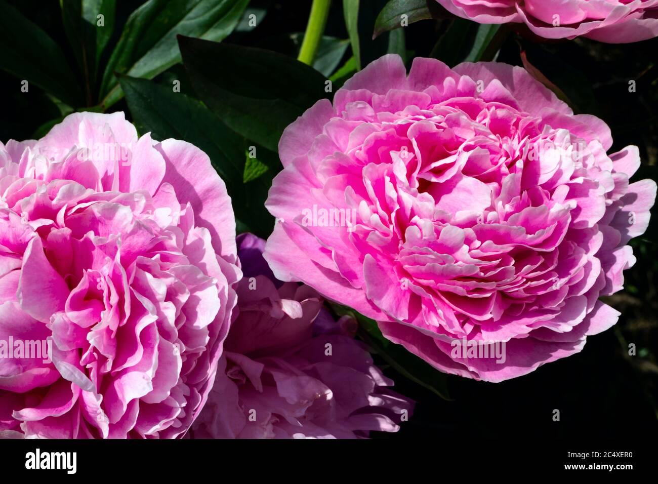 Peonía herbácea rosa en flor, Reino Unido. Foto de stock